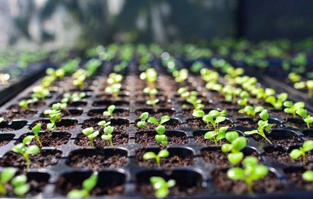 seedlings-transplanting